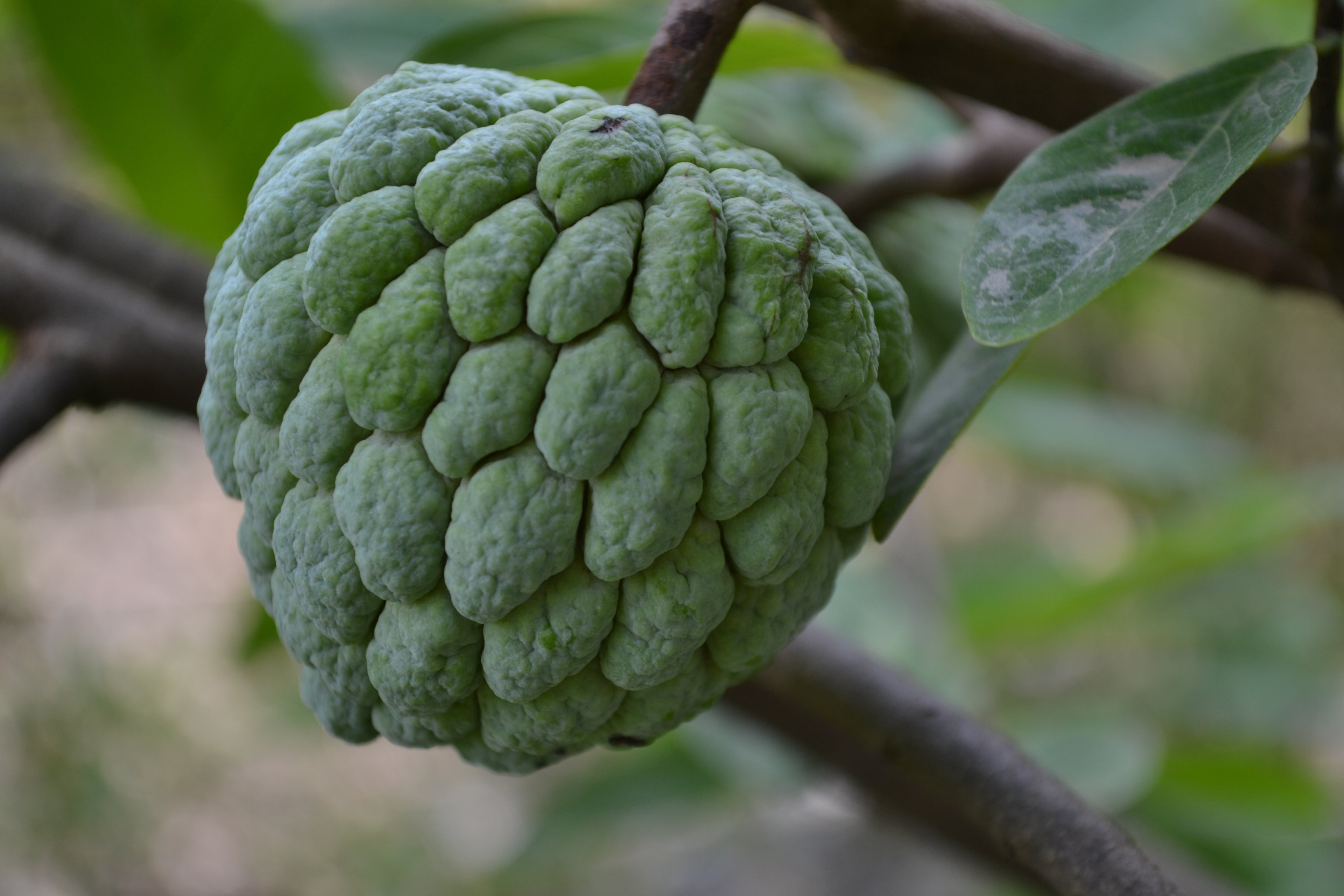 custard-apple-1.jpg
