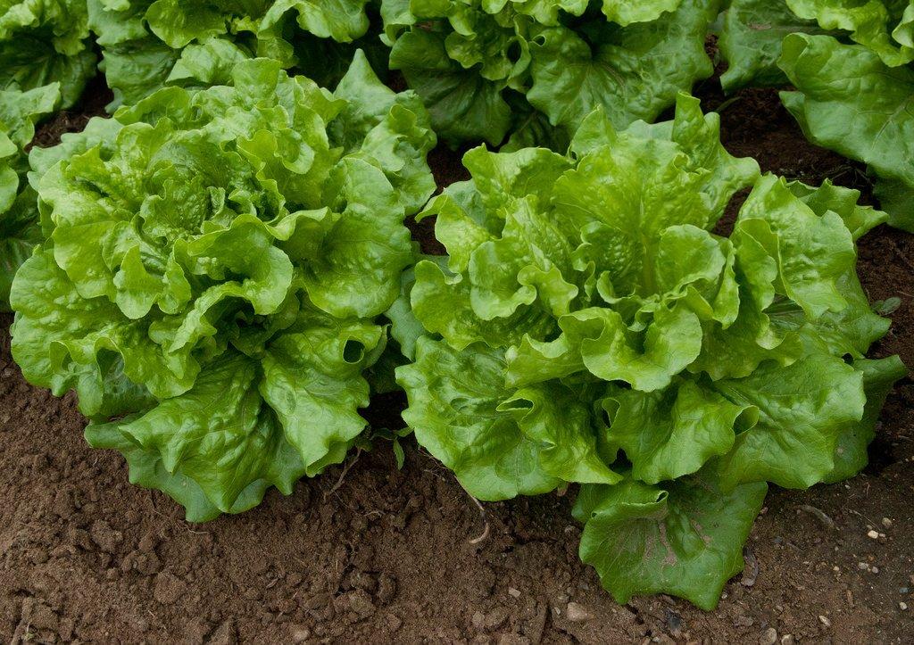 lettuce-3.jpg