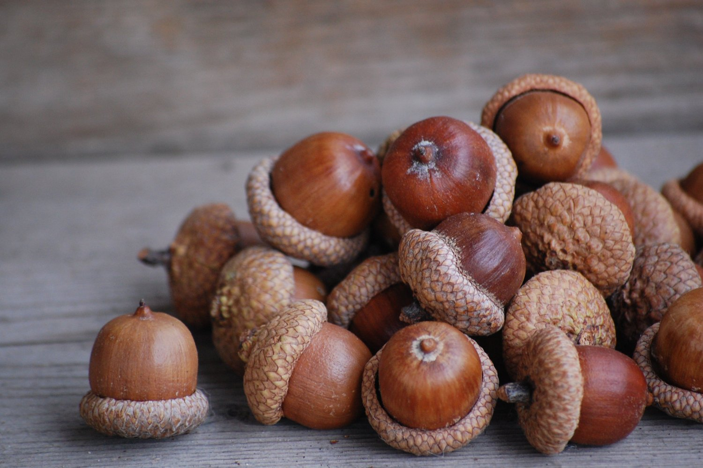 acorn-3.jpg