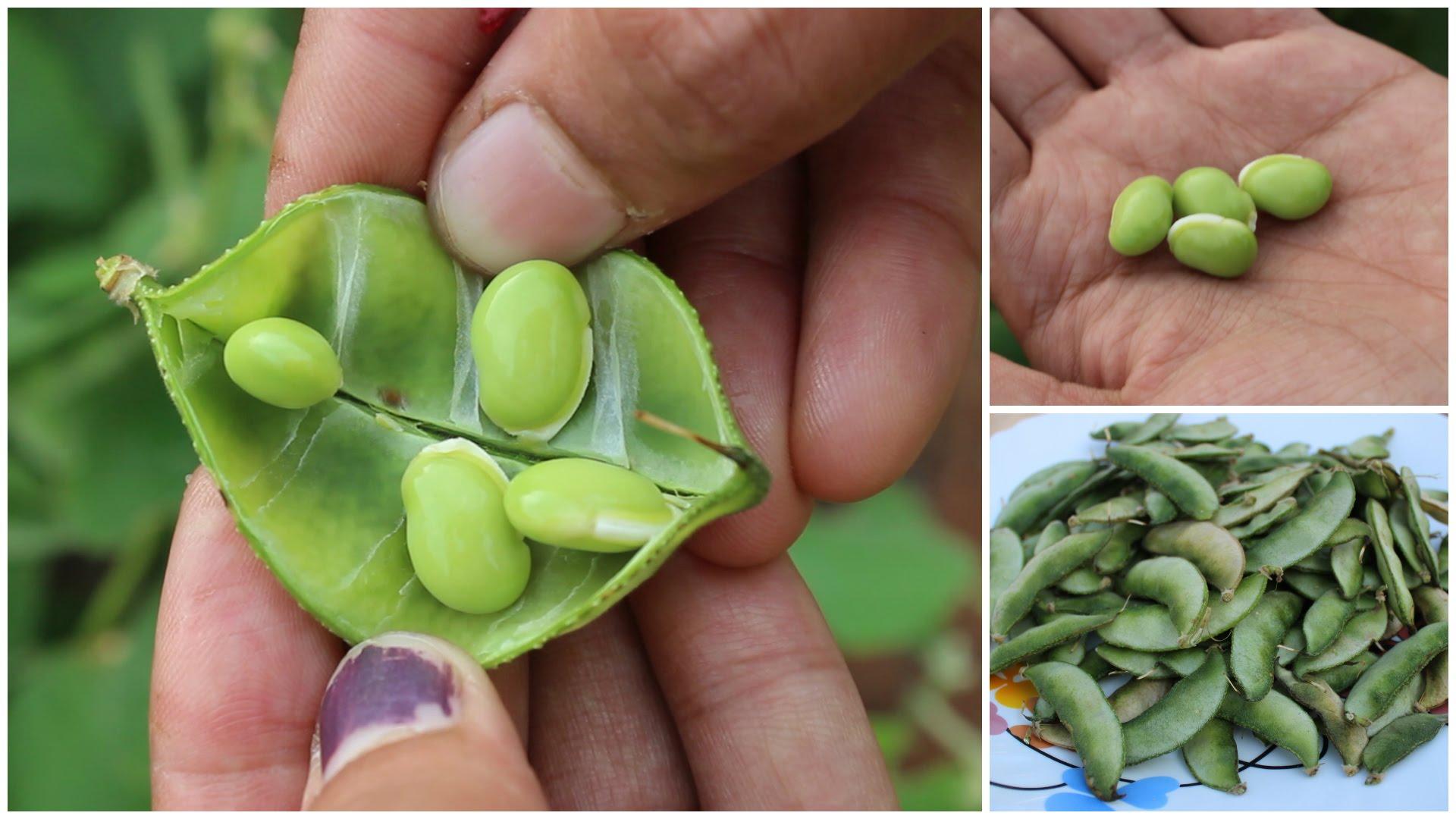 hyacinth-beans-1.jpg