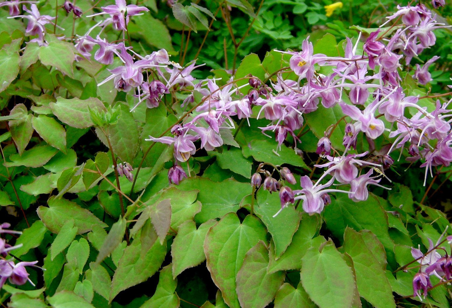 The Best Health Benefits Of Horny Goat Weed - Health Cautions