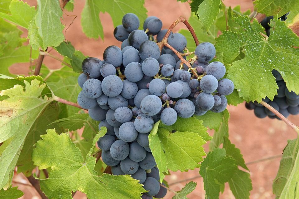 black-grapes-3.jpg