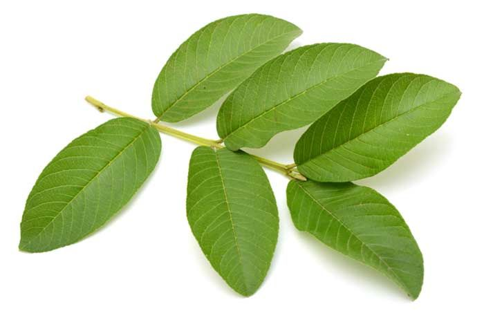 guava-leaves-1.jpg