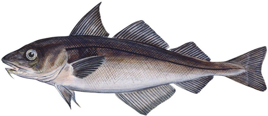 haddock-1.jpg