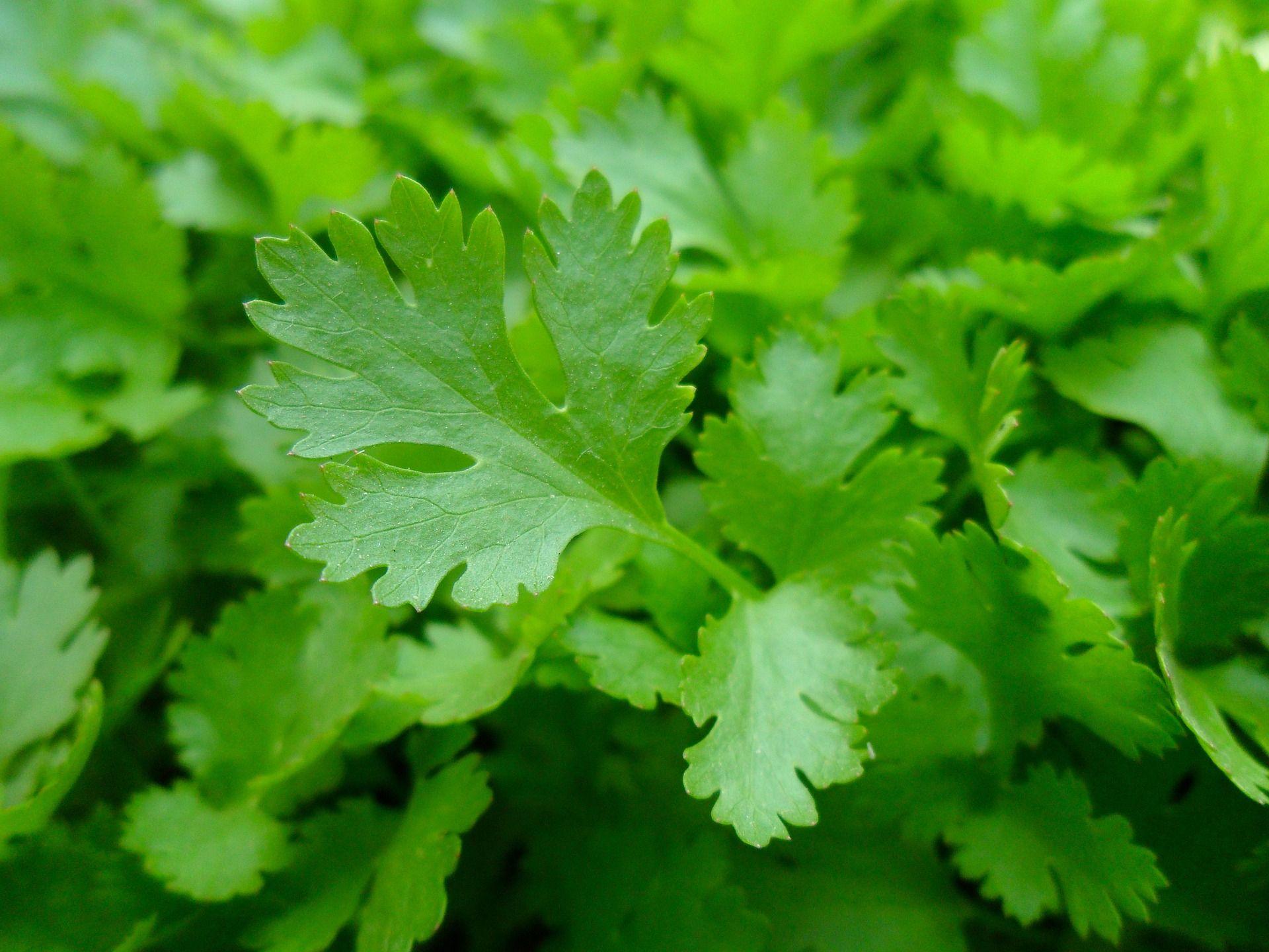parsley-3.jpg